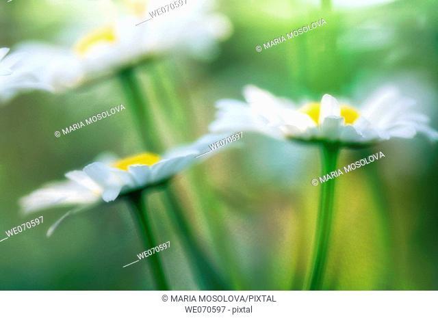 Shasta Daisies. Leucanthemum x superbum May 2006. Maryland, USA