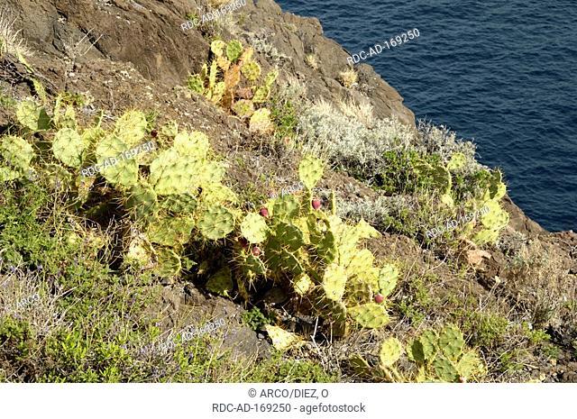 Indian Fig Opuntia, Tenerife, Canary Islands, Spain, Opuntia ficus-indica