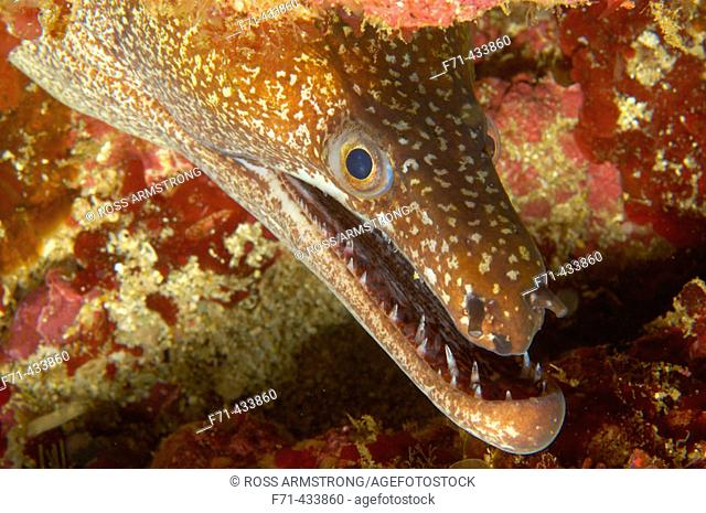 Mosaic moray eel (Enchelycore ramosa). Poor Knights Islands, New Zealand. South Pacific Ocean