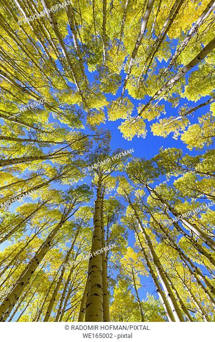 Aspens Coconino national Forest at fall season, Arizona, USA