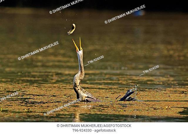 Darter taking fish