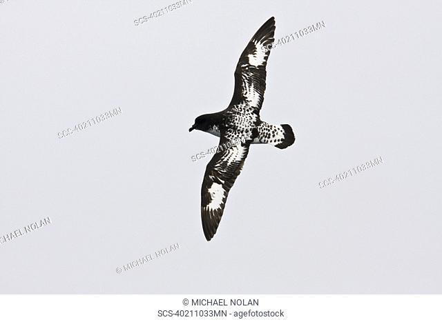Adult cape petrel Daption capense on the wing in and around the Antarctic peninsula This petrel is sometimes also called the pintado petrel