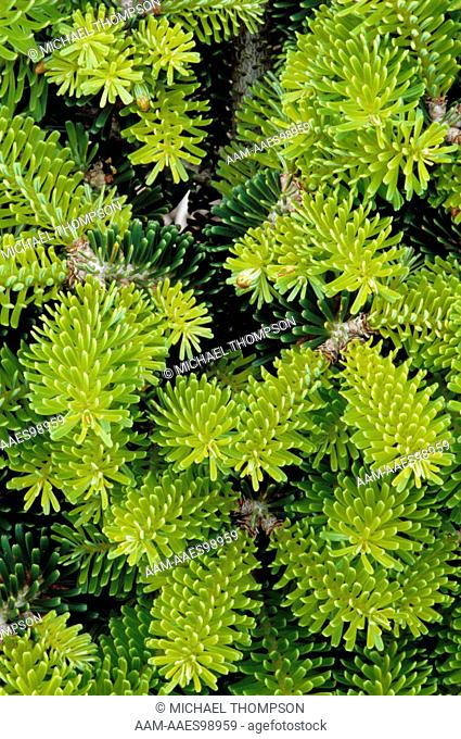 Dwarf Balsam Fir Stock Photos And Images Age Fotostock