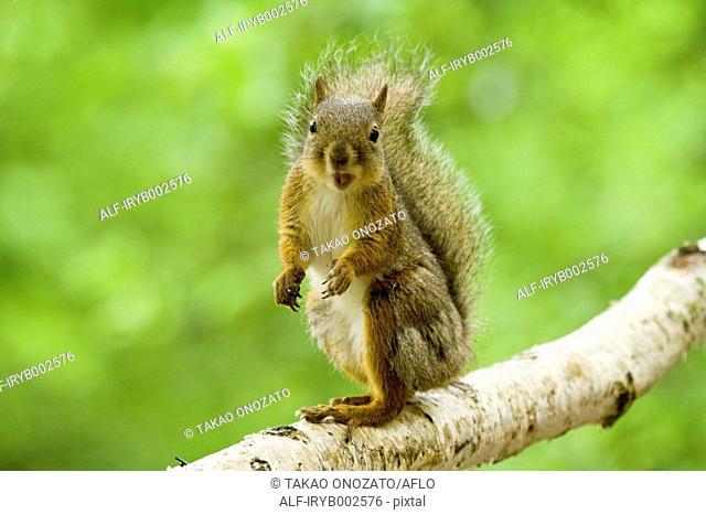 Japanese Squirrel