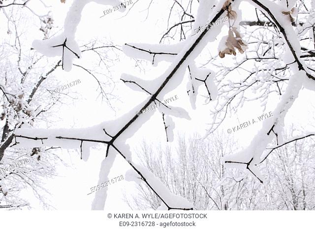 closeup of snowy branches against almost-white sky, Monroe County, IN