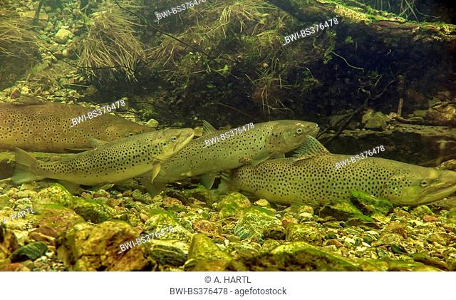 Brown trout, Sea trout, Atlantic trout (Salmo trutta trutta), fish migration to the spawning ground, Norway, Namsos