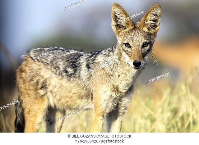 Black-backed Jackal (Canis mesomelas) - Onkolo Hide, Onguma Game Reserve, Namibia, Africa