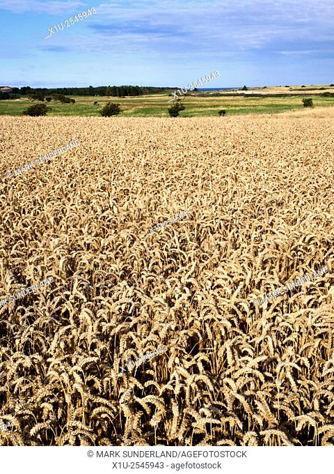 Wheat Crop Ripening in a Field near Beadnell Northumberland England
