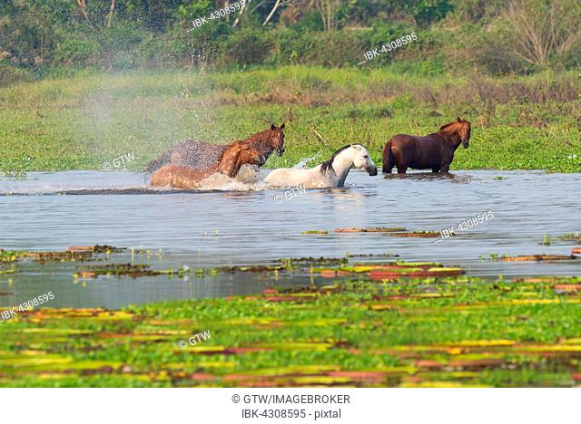 Horses in a water pond, Porto Joffre, Pantanal, Mato Grosso, Brazil
