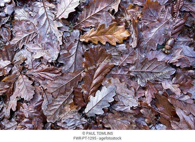 Sessile oak, Quercus petraea, Aerial view of many wet, fallen brown leaves and an acorn