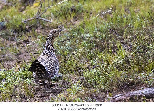 Female Capercaillie, Tetrao urogallus walking and turning her head towards camera, Stora sjöfallets national park, Gällivare county, Swedish Lapland, Sweden