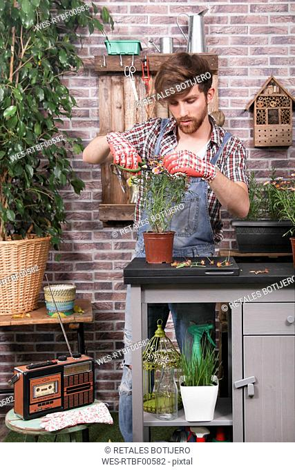 Man arranging daisy pot with garden scissors on terrace