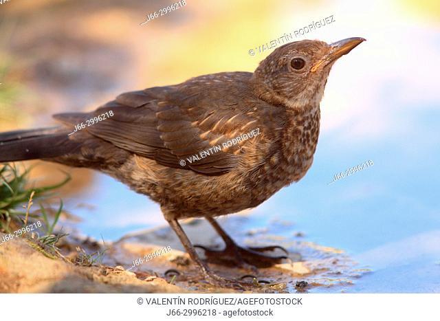 Blackbird (Turdus merula) exemplary female in the Los Serranos region. Valencia
