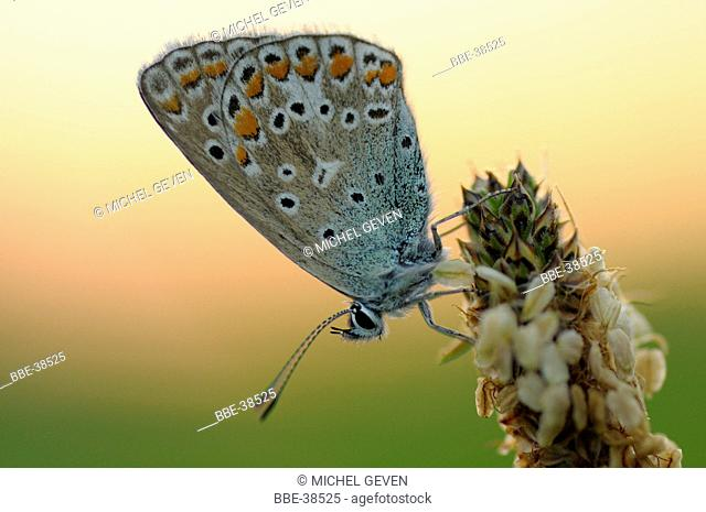 Sunset with a Brown Argus