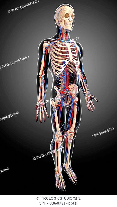Human anatomy, computer artwork