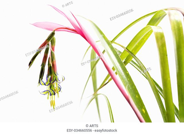 Colorful queen's tears flower in front of white background
