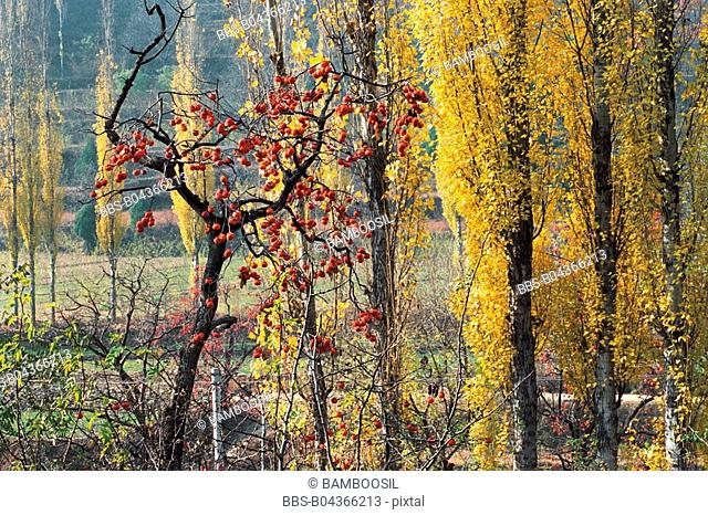 Persimmon Trees and Birches at End of Chenjiazhuang Village, Yichuan County, Yan'an City, Shanxi Province, People's Republic of China