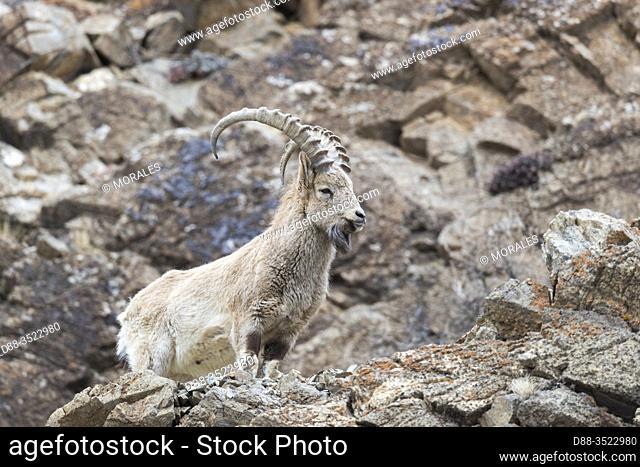 Asie, Mongolie, Ouest de la Mongolie, Montagnes de l'Altai, Ibex de Sibérie ou Yanghir (Capra sibirica), sur des rochers /Asia, Mongolia, West Mongolia