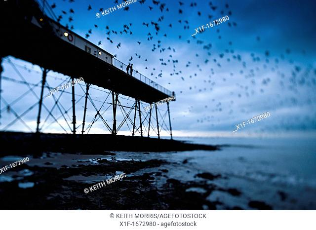 Starlings roosting on Aberystwyth pier, west wales UK