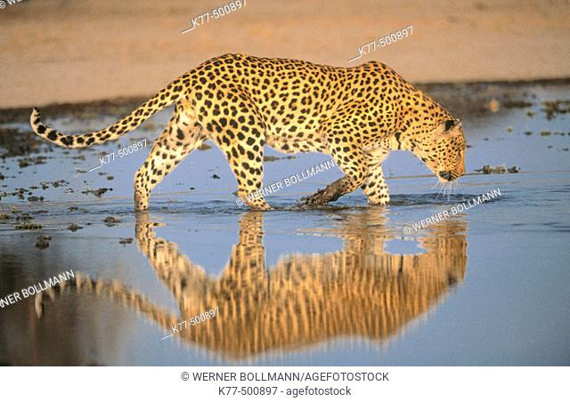 Leopard, male in the water (Panthera pardus) captive. Game Farm. Namibia