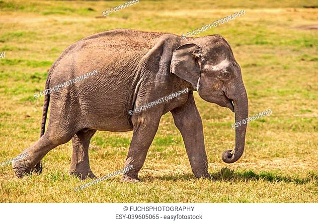 Close up photo of an Indian Elephant in Sri Lanka