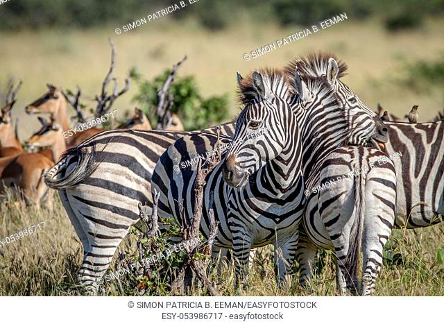 Zebras bonding in the Chobe National Park, Botswana