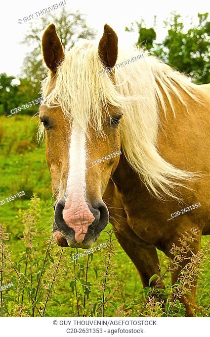 Halflinger horse in meadow, Normandy, France
