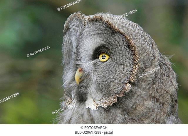 bartkauz, bill, bird, birds of prey, black and white, canton, daemmerungsaktiv