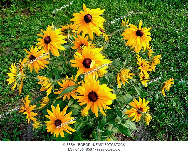 Rudbeckia coneflower flowers on green background with grass in summer day in dacha