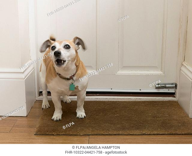 Domestic Dog, Jack Russell Terrier, adult male, barking at door, England, April