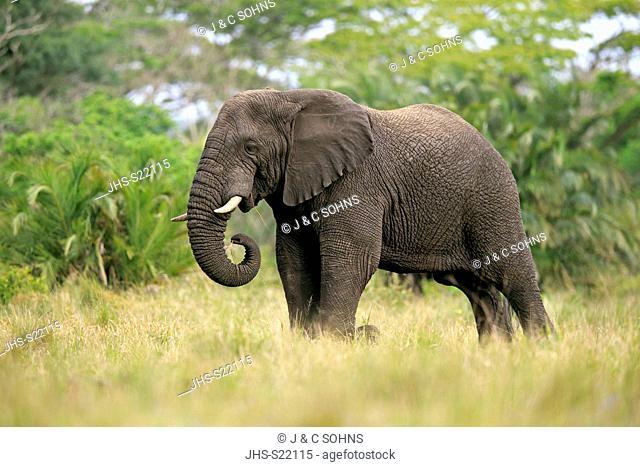 African Elephant, (Loxodonta africana), adult feeding, Hluhluwe Umfolozi Nationalpark, Hluhluwe iMfolozi Nationalpark, KwaZulu Natal, South Africa, Africa