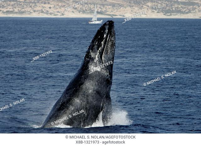Adult male Humpback Whale Megaptera novaeangliae head lunging on the Gorda Banks in the southern Gulf of California Sea of Cortez, Mexico