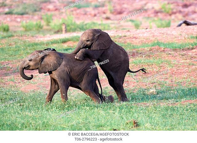 African elephant, calves of different ages playing (Loxodonta africana), Matusadona National Park, Zimbabwe