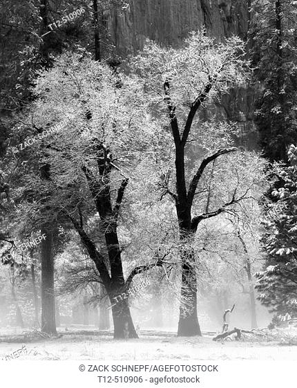 Two snow covered trees in Yosemite National Park in winter