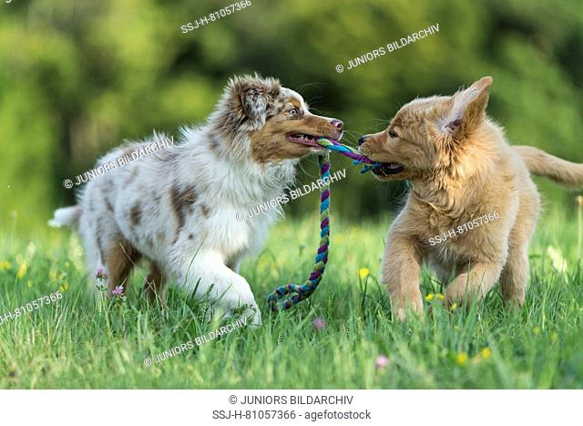 Australian Shepherd puppy and Golden Retriever puppy playing with a a multicoloured rope. Germany