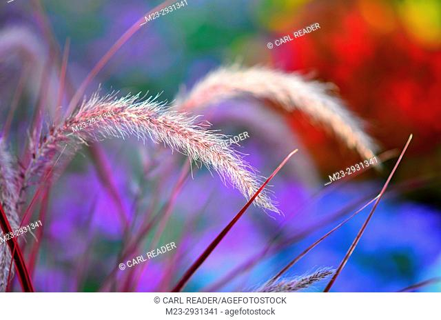 Purple ornamental grass with a colorful background in soft-focus, Pennsylvania, USA