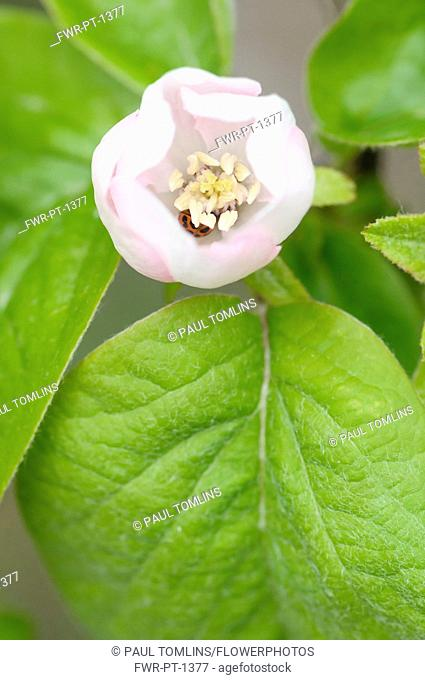 Quince, Cydonia oblonga, Close top view of one opening white flower and leaves
