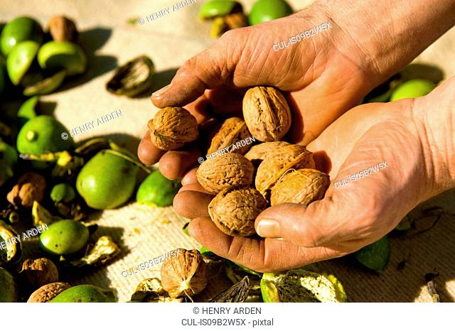 Close up of man's hands holding harvesting walnuts