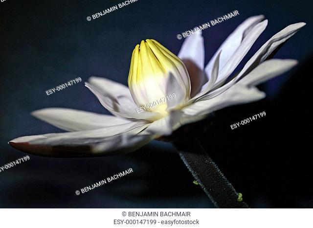 Tigerlotus Nymphaea lotus