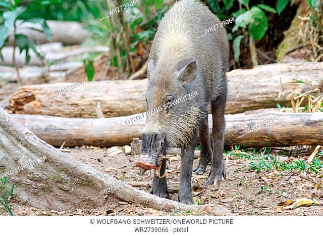 Indonesia, Kalimantan, Borneo, Kotawaringin Barat, Tanjung Puting National Park, Bartschwein, Bearded Pig (Sus barbatus)