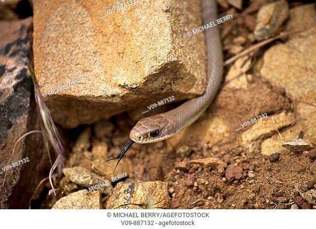 Racer snake basking in sun