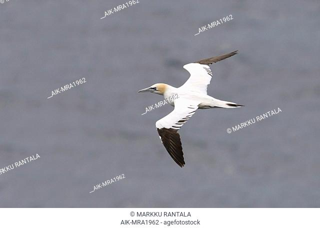 Side view of a 4cy Northern Gannet (Morus bassanus) in flight, photo above. Norway