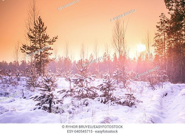 Gomel, Belarus. Beautiful Sunset Sunrise In Sunny Winter Snowy Forest. Sun Shine Over Winter Woods
