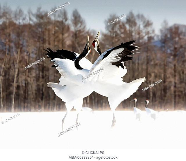 Red crowned cranes, Tsurui, Hokkaido, Japan