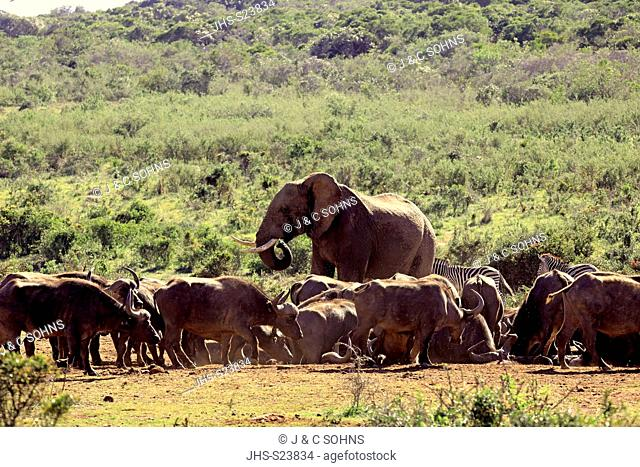 African Elephant, (Loxodonta africana), African Buffalo, (Syncerus caffer), group at waterhole drinking, Addo Elephant Nationalpark, Eastern Cape, South Africa
