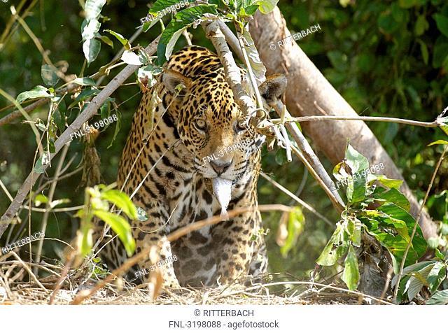 Jaguar Panthera onca, Pantanal, Mato Grosso, Brazil, front view