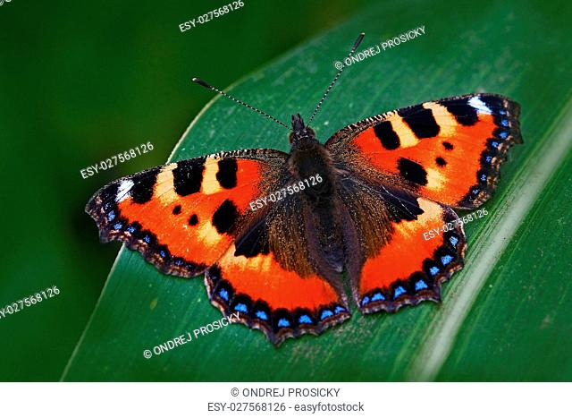 Orange butterfly Small tortoiseshell Aglais urticae