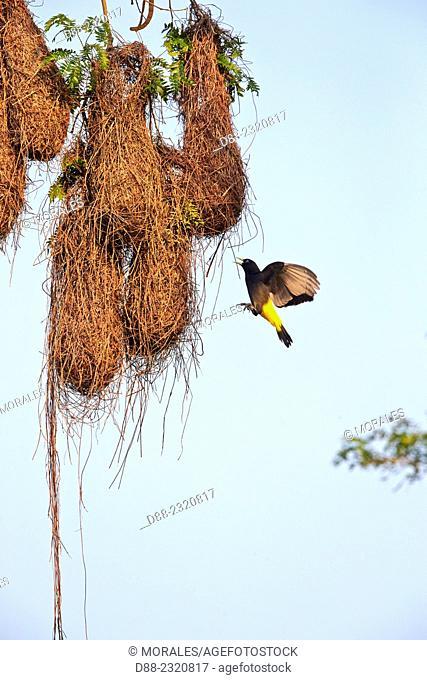 South America,Brazil,Mato Grosso,Pantanal area,Yellow-rumped Cacique (Cacicus cela), nest