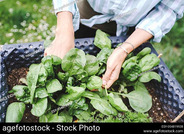 young woman harvesting different kinds of vegetables from raised bed in garden