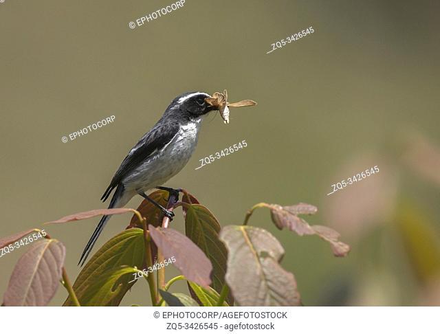 Grey Bushchat, Saxicola ferreus with Insect Kill, Uttarakhand, India
